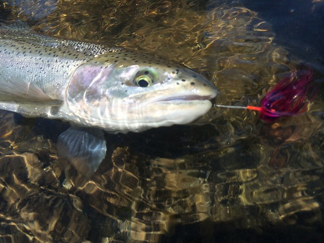 2014 summer steelhead