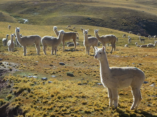 glowing alpacas