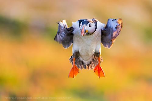 Flying Puffin Skomer Island 2014