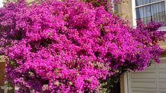 flower, azalea,
