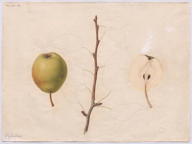 Birnensorte Wasserbirne