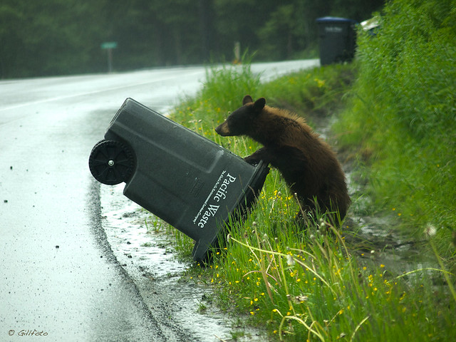 A bear cub tries to tip over a trash can