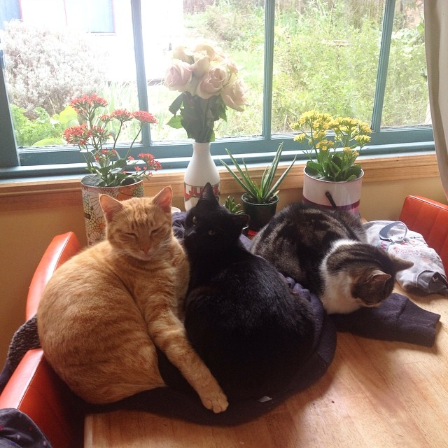 It's a horrible gusty, trees-falling over kind of day. The kind of day you just want to curl up on a jumper left on the kitchen table and stay there all day #atticuskitty #tintinkitty #mescakitty 3/4 cats!