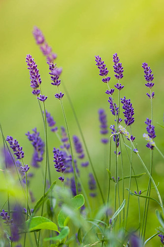 flower green beauty grass garden purple bokeh lavender straw