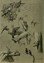 """Image from page 509 of """"Bird lore"""" (1899)"""