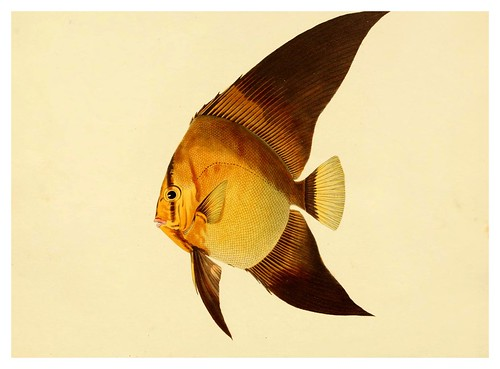 004- Chertoolon vespertilio-A selection … the fishes …of Ceylon-1834 John B. Whitchurch
