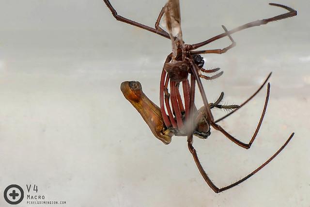 Nephila cf. kuhlii ♀ moulting