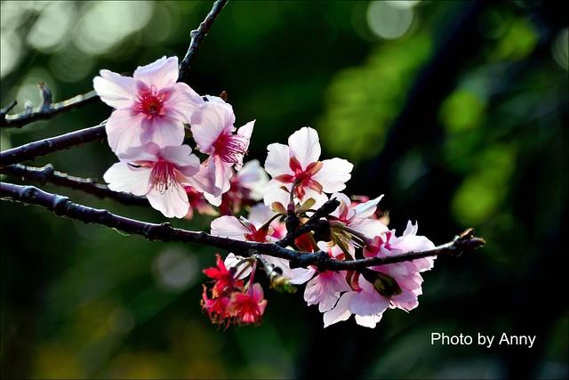 麗池櫻花34
