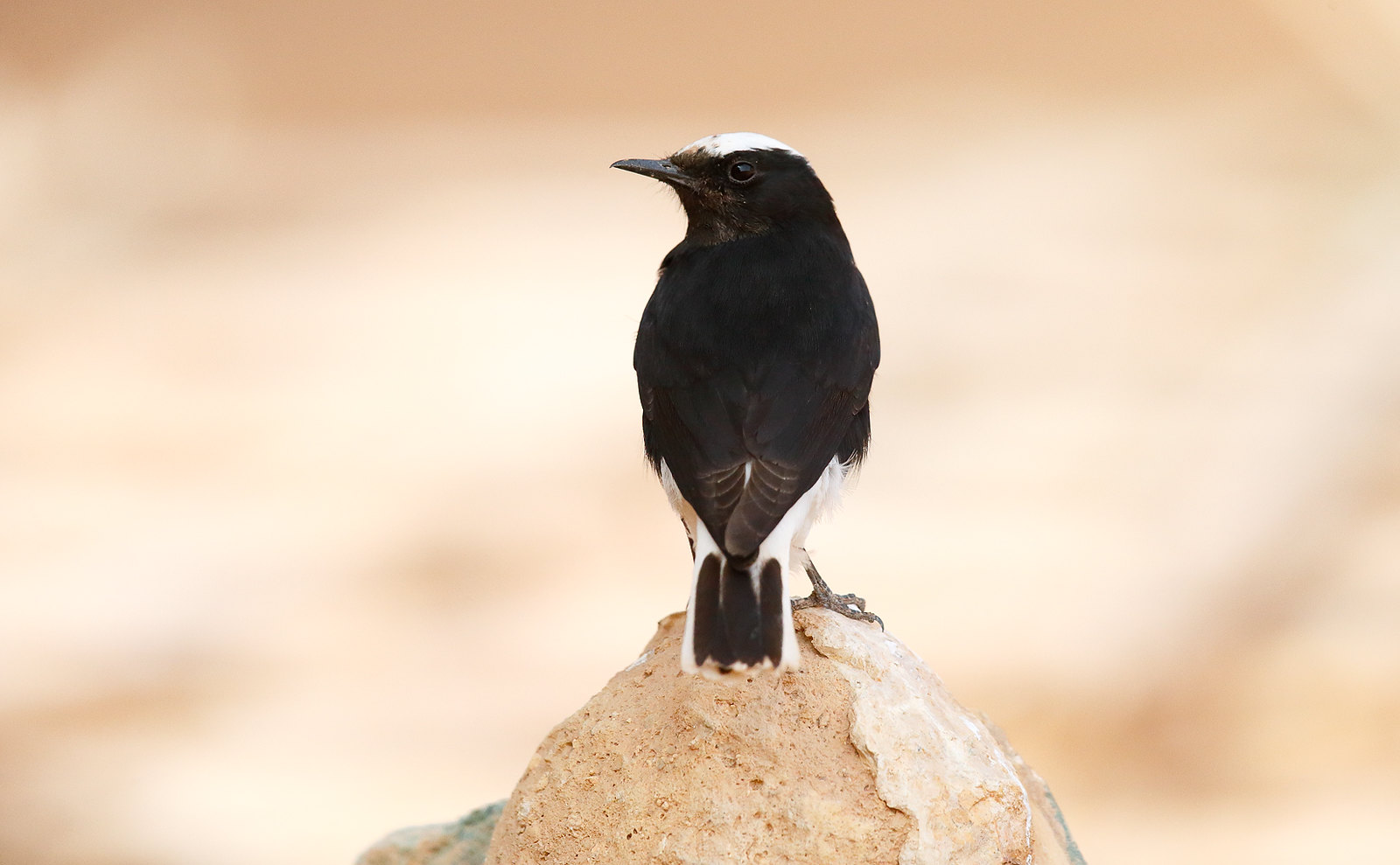 White-crowned Black Wheatear