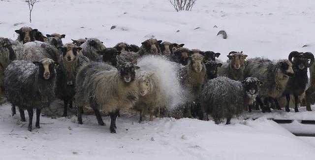 all it takes it a bit of sheepish behaviour ...