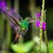 Rufous-tailed hummingbird by Manuel ROMARIS
