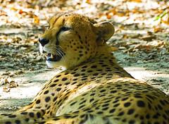 Memphis Zoo 08-31-2016 - Cheetah 13