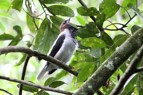 beardedbellbird procniasaverano trinidad asawright