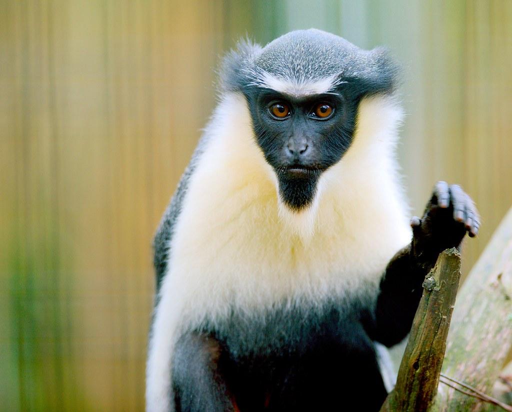Diana Monkey_7