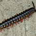 West End - Yellow Spotted Millipede