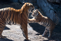 Tiger Cub Leaning on Mom