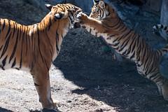 Tiger Cub Pouncing