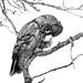 Great Gray Owl (Strix nebulosa) by Sharon's Bird Photos