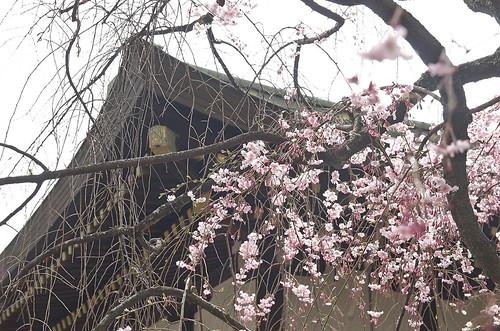 【写真】桜 : 上御霊神社