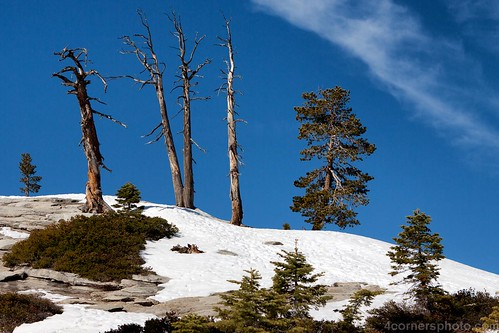 Dead Trees, Sentinel Dome, Yosemite National Park