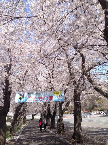 kodomonokuni_cherry_blossom