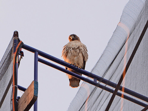 Red-Tailed Hawk (7175)