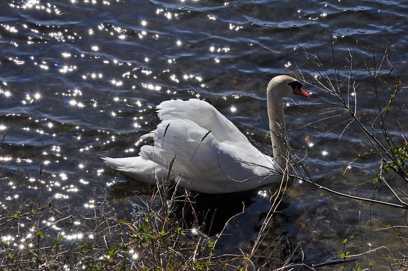Swan Constellation 2