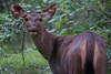 Sambar Deer on alert