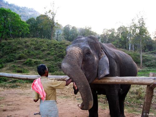 Elephant feeding @ Topslip