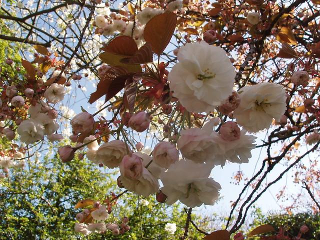 201404130149-prunus-blossom