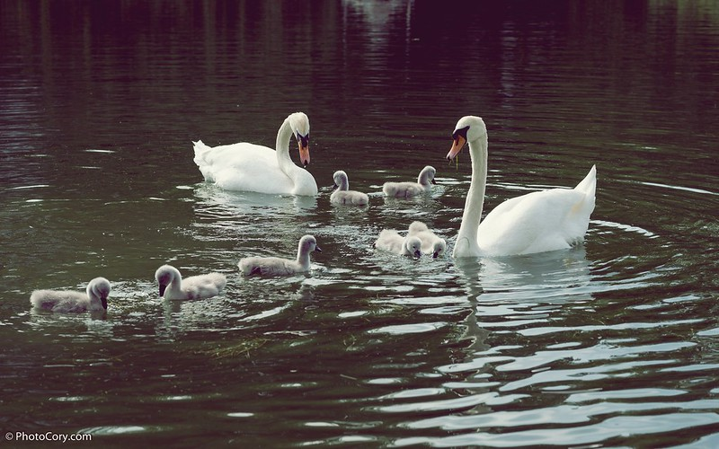 Baby swans in Brussels, at Ixelles Lakes