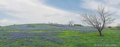 Bluebonnet Field 14...