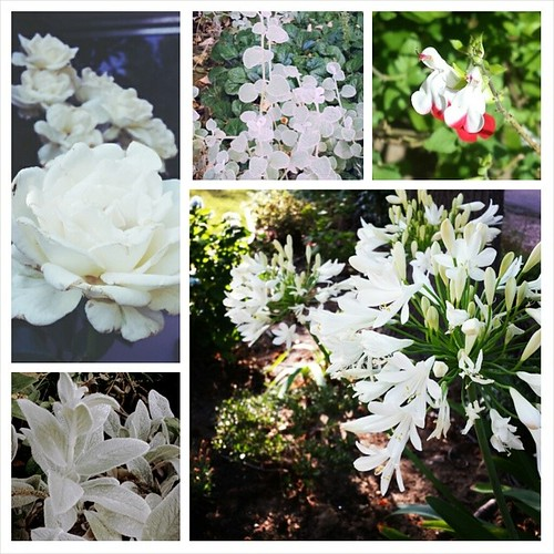 I don't have a lot of white in my garden,  but this is what's happening now.  #summer #flowers #gardening #white