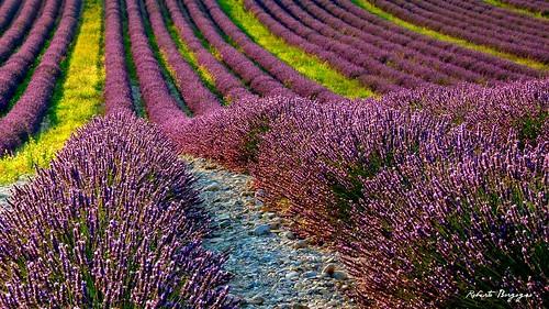 france nature landscape natura fiori viola francia paesaggio lilla provenza luglio lavanda valensole coloreviola