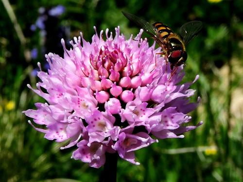 Traunsteinera globosa=Orchis globuleux (5)