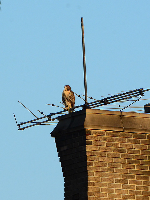 Cathedral Hawk Fledgling - 3250