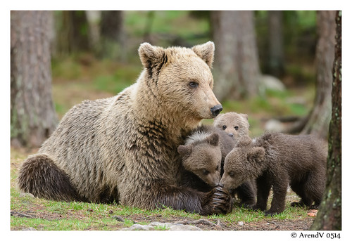Mother bear and 3 cubs of a few months old