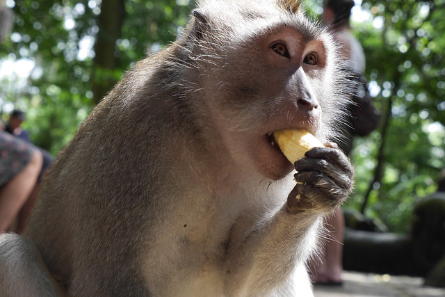 Macaque eats a banana in the Monkey Forest ubud, Bali.jpg What animals can you see in Asia? | Amazing animals in Asia | How to see pandas in China | How to see snow monkeys | Can you see manta rays in Bali? | See elephants in South East Asia