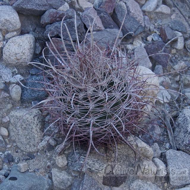 cactus 0000 Mecca Hills, California, USA