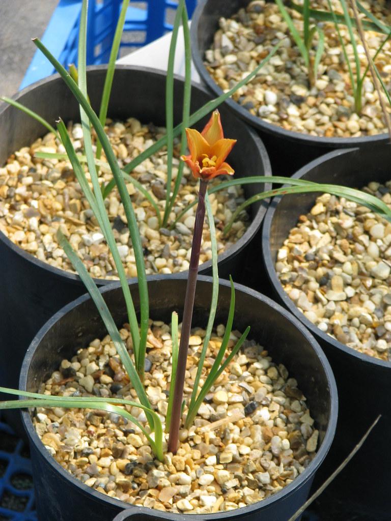 Habranthus tubispathus texensis