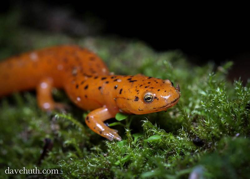 Red Salamander (Pseudotriton ruber) - juvenile