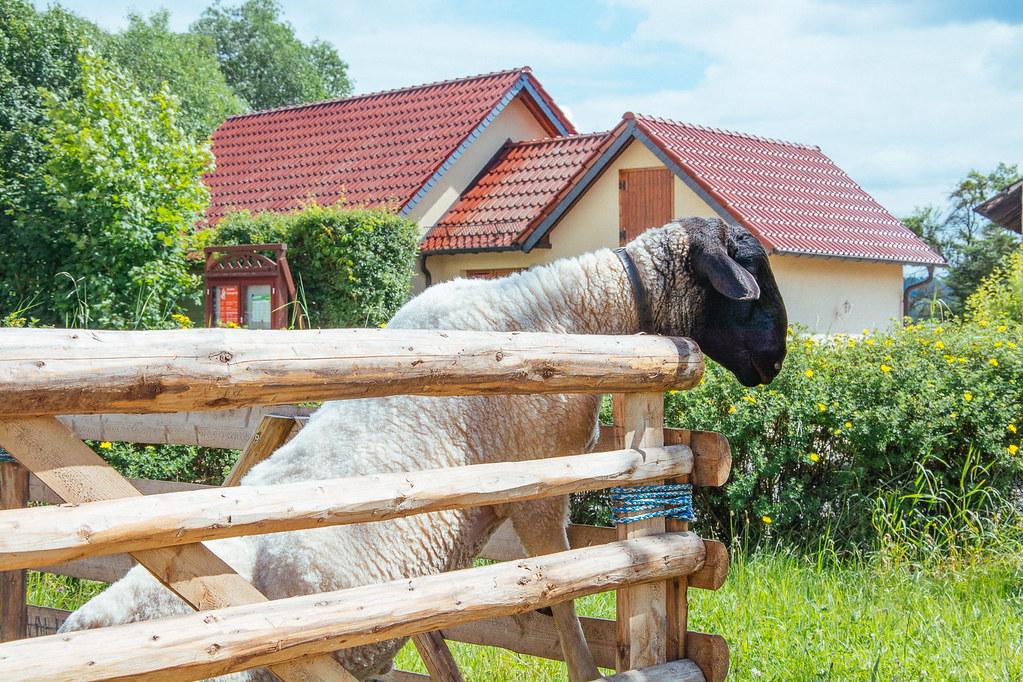 Das neugierige Schaf