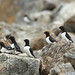 Little Auks (Bret Charman)