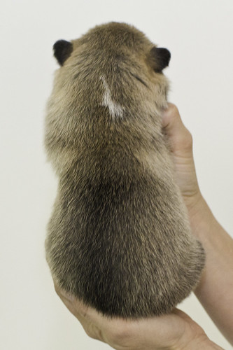 Anya-Litter1-10Days-Puppy2(Male)b