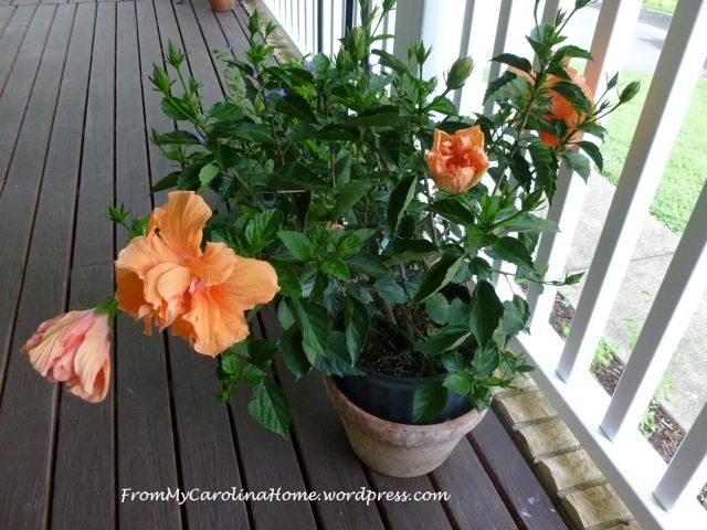HibiscusJulymultipleblooms
