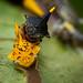 Treehopers mating by Eduardo Mena U.