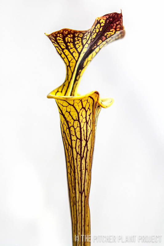 Sarracenia flava var. ornata - Bulloch Co., GA