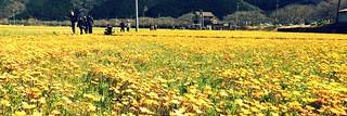 Flower Garden Using Rice Field in Matsuzaki Town, Shizuoka, Japan