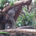 Auch bei den Koalas war abhängen angesagt!