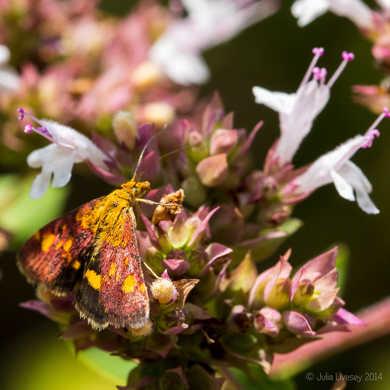 Mint Moth on Oregano
